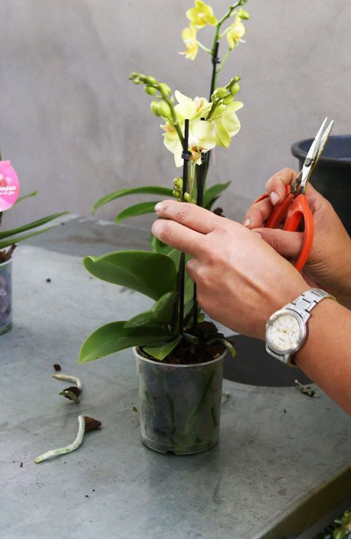 Phalaenopsis-Cuidados